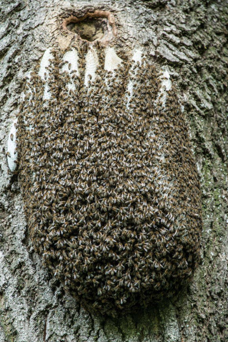 Bienenschwarm auf Eiche!