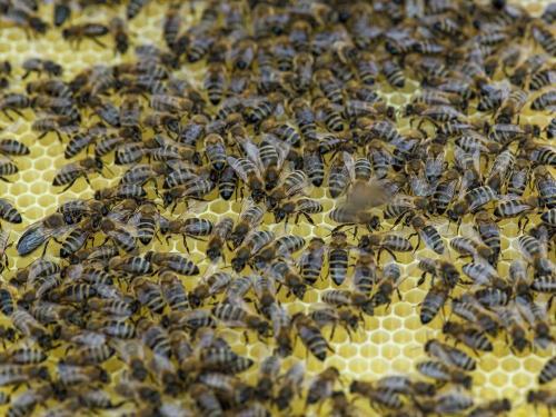 Bienen 18