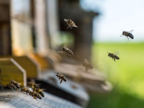 Bienen 44