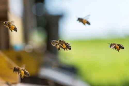 Bienen11