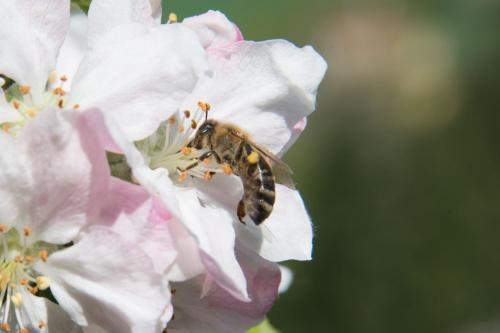 Bienen8